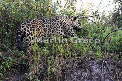 Male Jaguar (Panthera onca) known as Marley works his way along the top of the riverbank, River Cuiabá, Northern Pantanal, Mato Grosso, Brazil