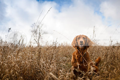 pretty longhaired red dog smiling from dried grasses under sky