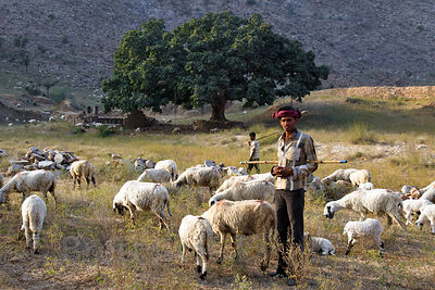 Sheep herders graze their animals in the desert near a massive ancient fig near Kharekhari village, Rajasthan, India