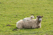 Mule ewe with lamb sleeping on its back. Wensleydale, North Yorkshire, UK.