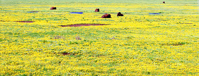 046-WL13039_Buffalos_in_the_Field_Preview