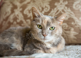 close-up of tortoiseshell calico cat on bed