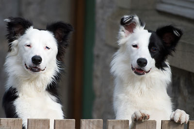 Bo and Maggi - Two Adorable Border Collies -