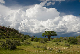Single baobab tree (Adansonia digitata) towers over lush green bushveld with large fluffy white cumulo nimbus clouds in blue sky behind.
