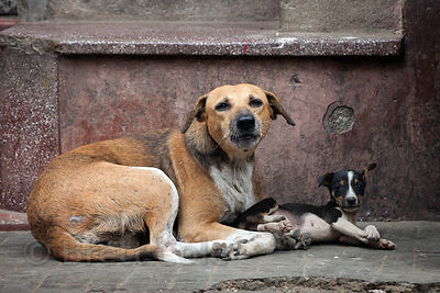 A stray dog and and its puppy in the Bowbazar area of Kolkata, India.