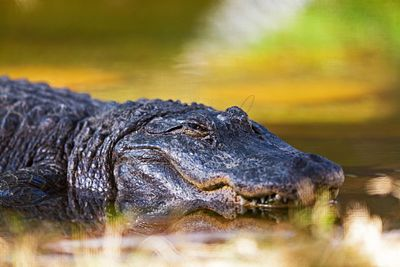American Alligator In Water