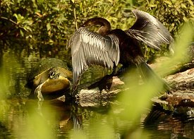 Cormorant on a log battling with turtle