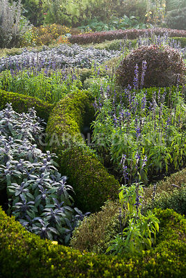 The knot garden in the Formal Garden is made of box and berberis, infilled with purple sage and blue flowering bedding salvias. Waterperry Gardens, Wheatley, Oxfordshire, UK