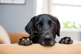 Sad-Looking Black Labrador with Paws on Sofa Arm