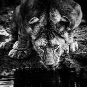 07382-Lionness_drinking_in_the_river_Tanzania_2018_Laurent_Baheux