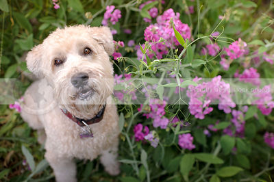 blond terrier dog staring up from garden flowers