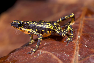 Stubfood toad (Atelopus spumarius) photos