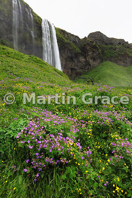 Seljalandsfoss waterfall, Sudurland (Su∂urland, Southern Region), Iceland, with Wood Cranesbill (Geranium sylvaticum) and buttercups in the foreground