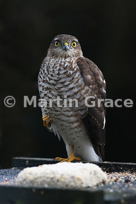 Eurasian Sparrowhawk (Accipiter nisus) waiting optimistically on a bird table, Lyth Valley, Cumbria, England: Image 2 of 4