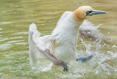 Northern gannet bathing