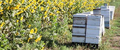 Bee hives and sunflowers