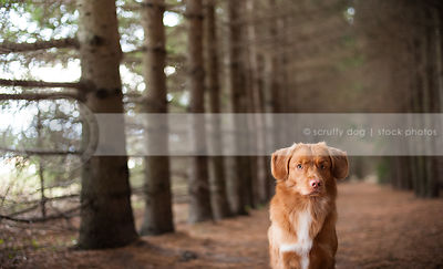 portrait of red duck toller dog staring in forest of pines
