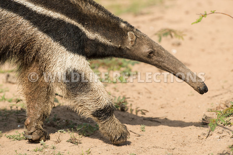 giant_anteater_walking_close-1