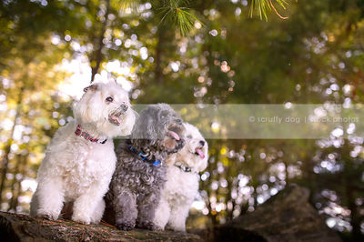 three little poodle crosses posing on log in sparkly forest