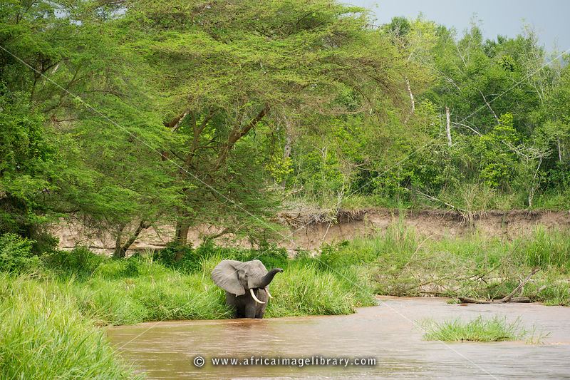 African elephant in a river (Loxodonta africana africana), Ishasha sector in Queen Elizabeth National Park, Uganda