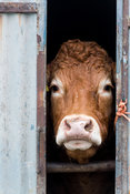 Limousin cow looking out of gap in shed wall. Cumbria, UK.