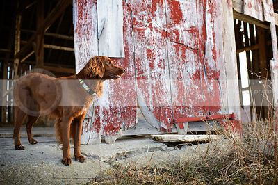 longhaired red dog standing in barn doorway