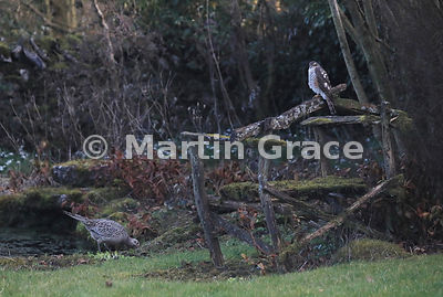 Juvenile male Eurasian Sparrowhawk (Accipiter nisus) sits on the back of an old wooden garden seat while a female Common Pheasant (Phasianus colchicus) takes absolutely no notice, Lyth Valley, Cumbria, England