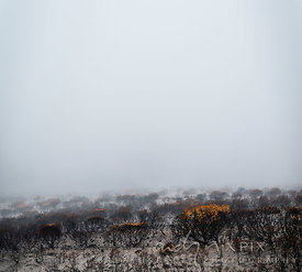 Burned leucadendron protea bushes in the mist
