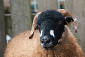 Dalesbred sheep, a hardy upland breed from North Yorkshire, UK.