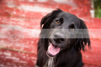 headshot of happy longhaired dog staring at camera
