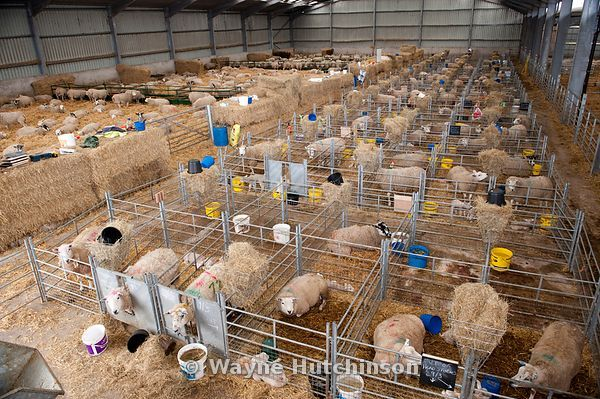 Wayne Hutchinson Photography Sheep In Lambing Shed Cumbria