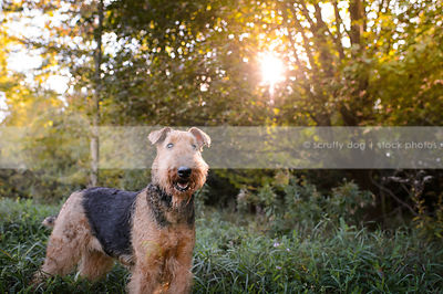 portrait of alert black and tan dog standing in meadow with sunflare