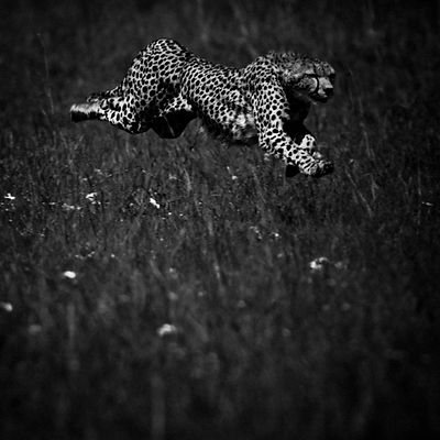 High Speed Cheetah 3, Kenya 2006 © Laurent Baheux