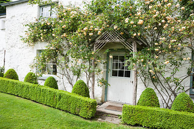 Rosa 'Buff Beauty' surrounds the front door of the farmhouse, with neat box hedges and cones below. Caervallack Farm, St Martin, Helston, Cornwall, UK