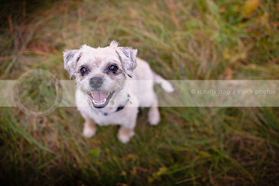 happy little terrier dog staring up from grass