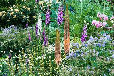 Herbaceous borders at Cothay Manor, Somerset containing repeated clumps of Geranium pratense 'Mrs Kendall Clark', Anthemis punctata sp cupaniana and Sisyrinchium striatum punctuated by foxgloves and foxtail lilies with cardoons and macleaya behind