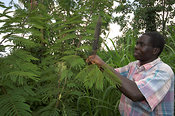 Man cutting leaves off Fodder Tree , to feed to animals , Kenya Africa