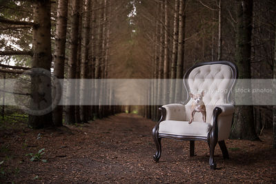 small chihuahua dog standing an white antique chair in pine forest