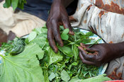 Rural family preparing green leaves and herbs for a meal, Kenya.
