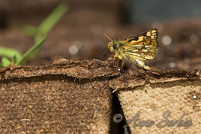 Chequered skipper (Carterocephalus palaemon) photos