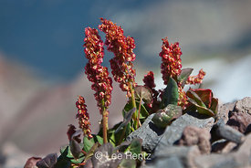 Mountain Sorrel, Oxyria digyna, on Old Snowy in Goat Rocks