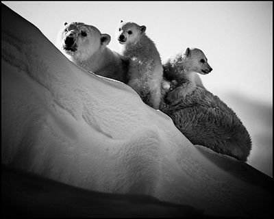 Two polar cubs closed to their mother, Baffin Island Canada 2016 © Laurent Baheux