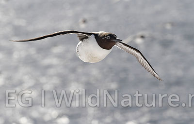 Common guillemot/Lomvi - Norway