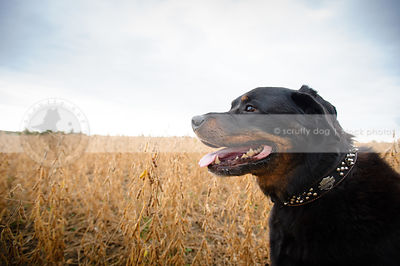 portrait of black and tan rottweiler dog in field with sky