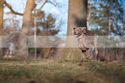 crazy goofy weimaraner dog running in park grass
