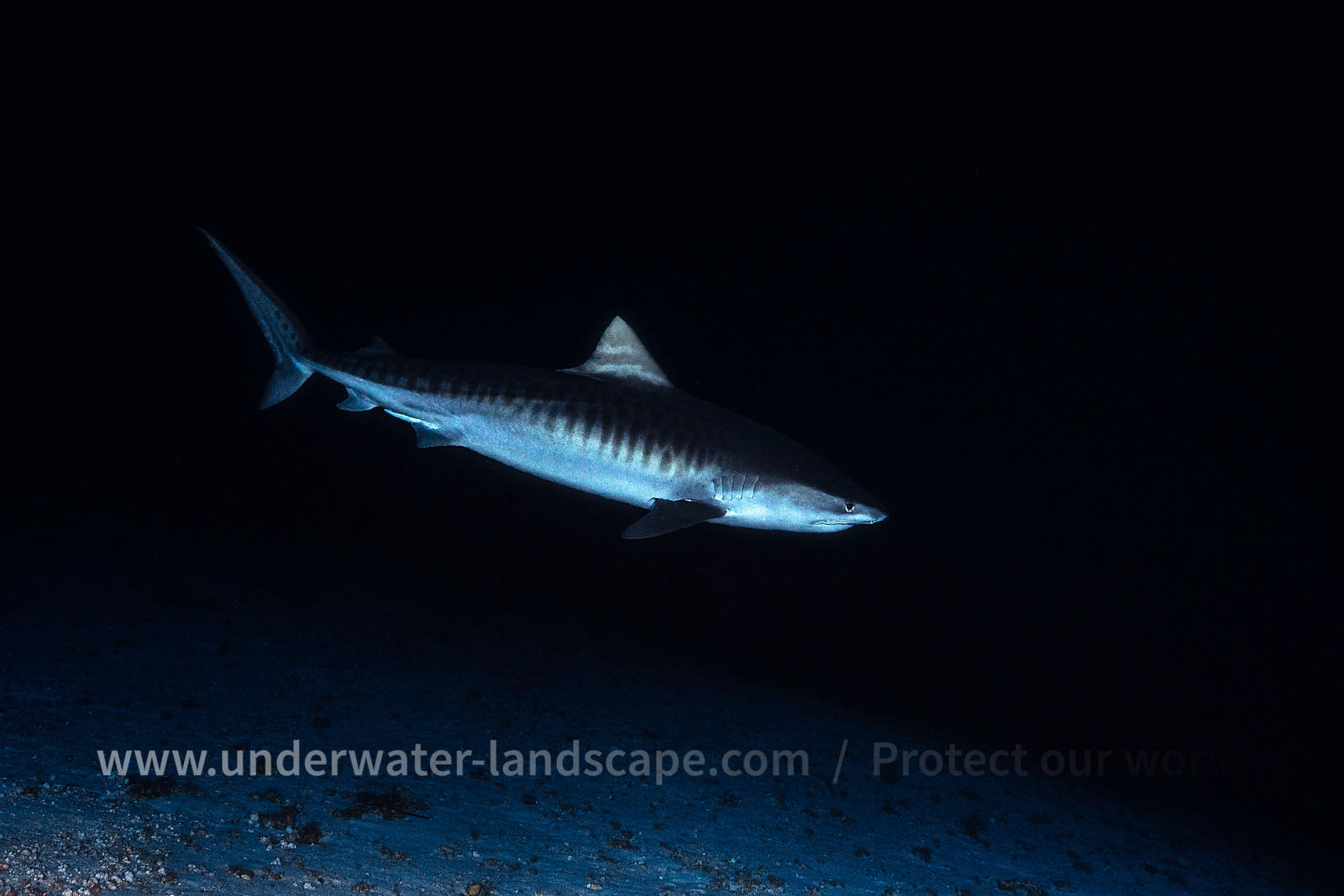 Tiger Shark by 114 meters deep