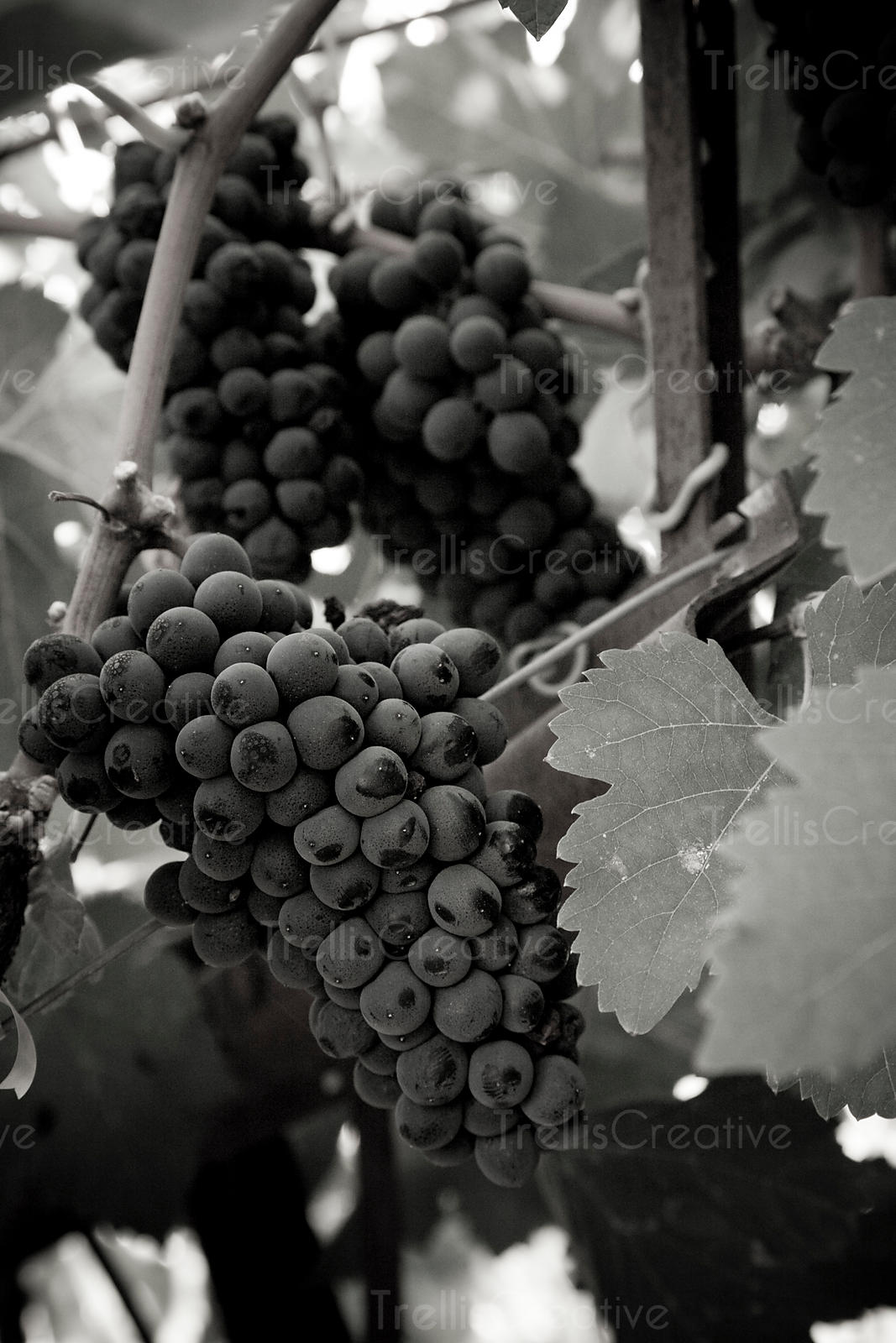 Ripe clusters of petit syrah hang on the vine