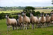 Flock of Mule ewes in pasture. Cumbria