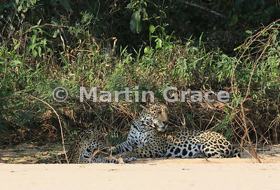 Female Jaguar (Panthera onca) 'Hunter' and male 'Hero' (right) lie down close to each other in partial shade, Three Brothers River, Northern Pantanal, Mato Grosso, Brazil. Image 6 of 62; elapsed time 3mins