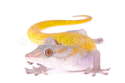 Golden gecko (Gekko badenii)  photos
